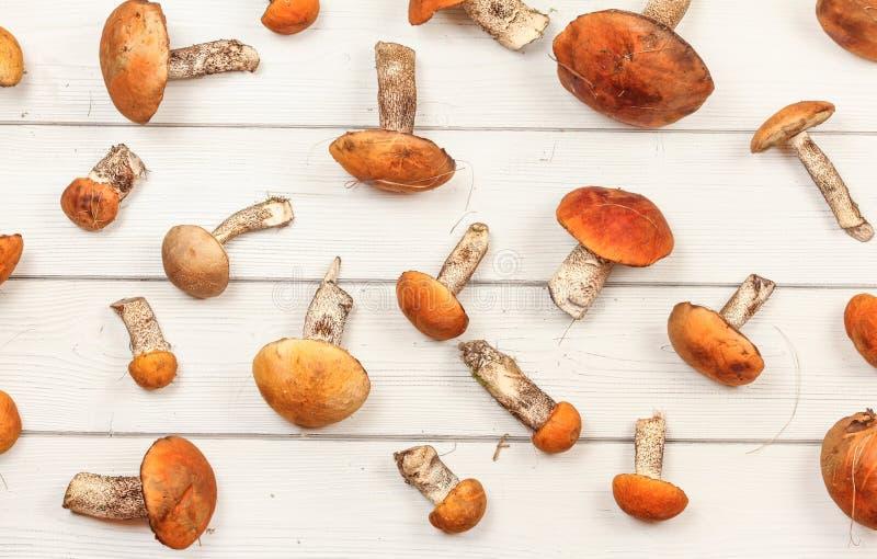 Opinião superior da pena - cogumelos frescos da floresta, aurantiacum Vermelho-tampado/albostipitatum do Leccinum da haste do sca fotografia de stock