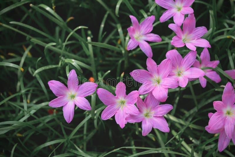 Opinião superior das flores grandiflora de Zephyranthes imagem de stock royalty free