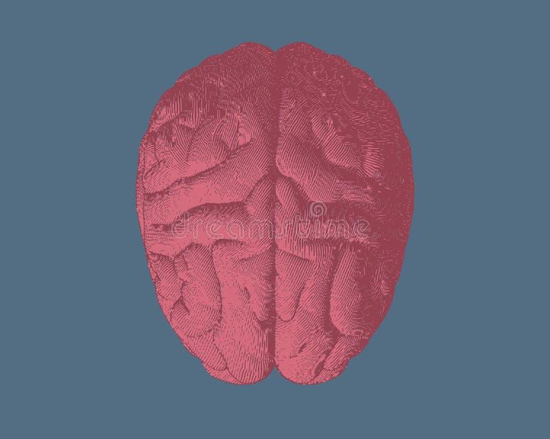 Opinião superior do cérebro da gravura na BG azul ilustração royalty free