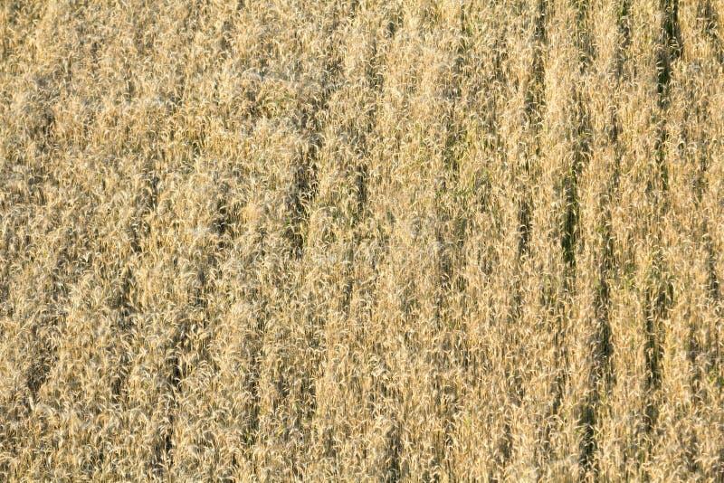 Opinião superior do close-up do isolado iluminado pelo sol do verão que cresce o marrom amarelo dourado longo murcho secado backg imagem de stock royalty free