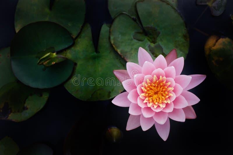 A opinião superior lótus cor-de-rosa bonitos imagens de stock