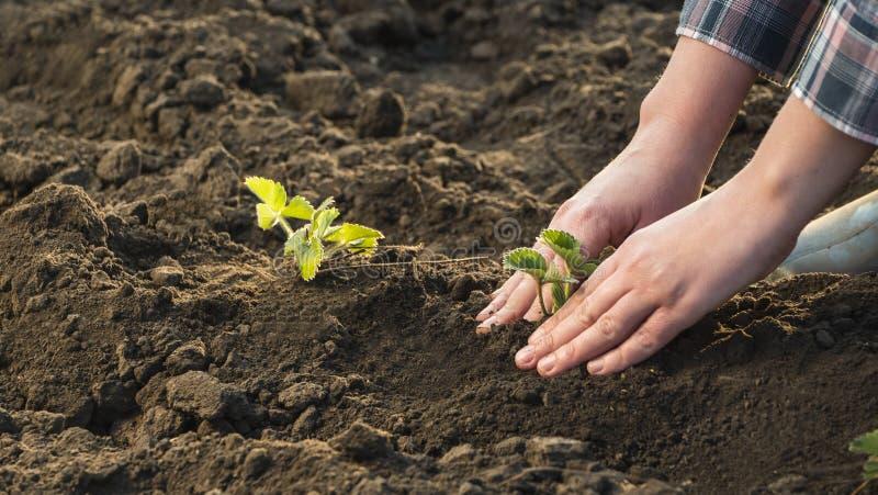 A opinião superior o fazendeiro planta com cuidado plântulas da morango, close-up fotos de stock royalty free