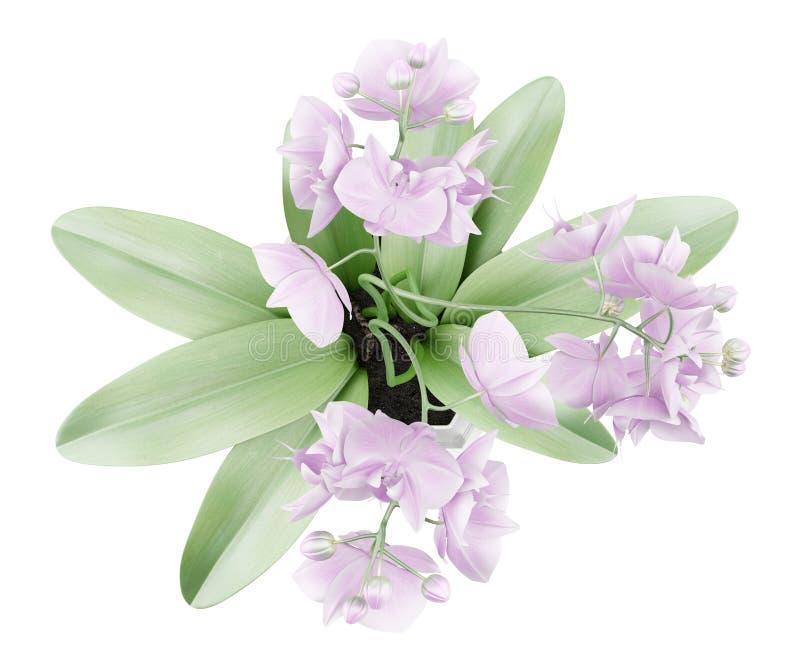A opinião superior a orquídea floresce no potenciômetro isolado no branco ilustração stock