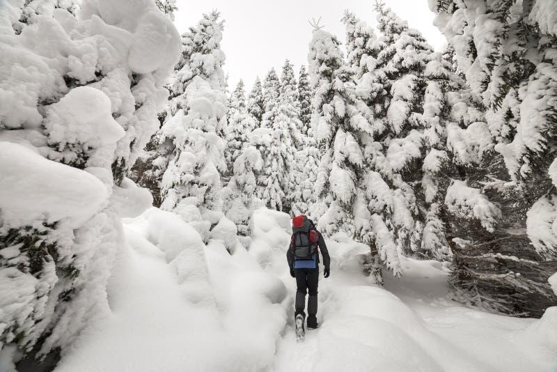 Opinião traseira o caminhante do turista com trouxa que anda na neve profunda limpa branca no dia de inverno gelado brilhante na  fotografia de stock