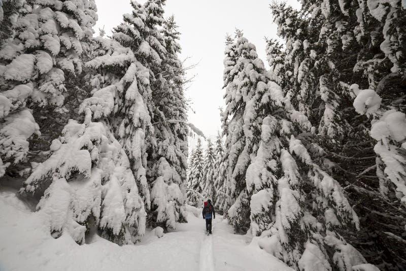 Opinião traseira o caminhante do turista com trouxa que anda na neve profunda limpa branca no dia de inverno gelado brilhante na  imagens de stock royalty free