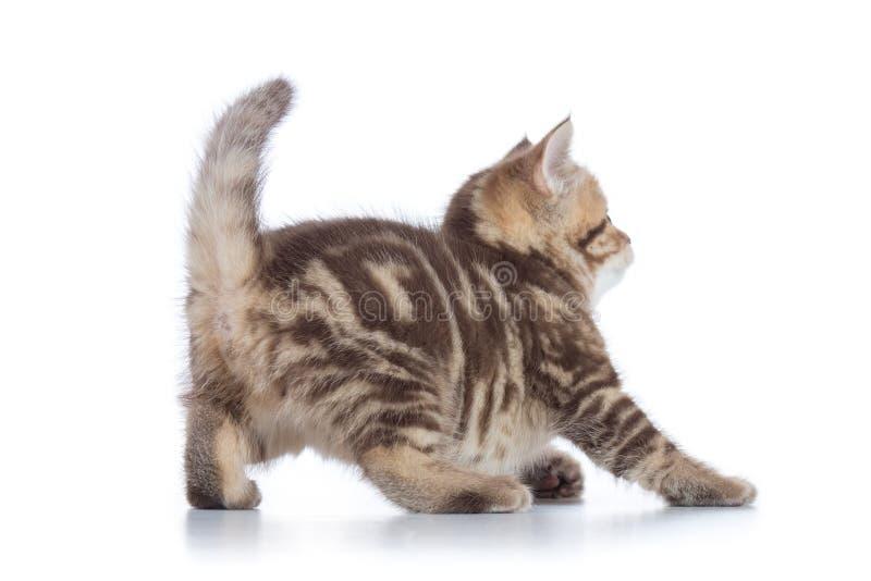 Opinião traseira o gatinho brincalhão do gato de gato malhado isolado fotos de stock