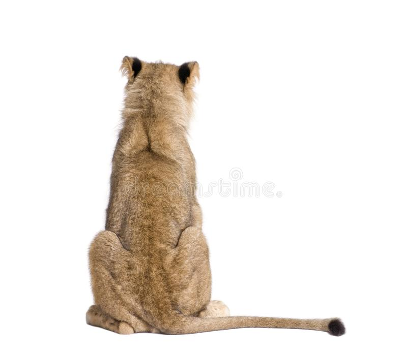 Opinião traseira o leão, Panthera leo, 9 meses velho, na frente do fundo branco fotos de stock