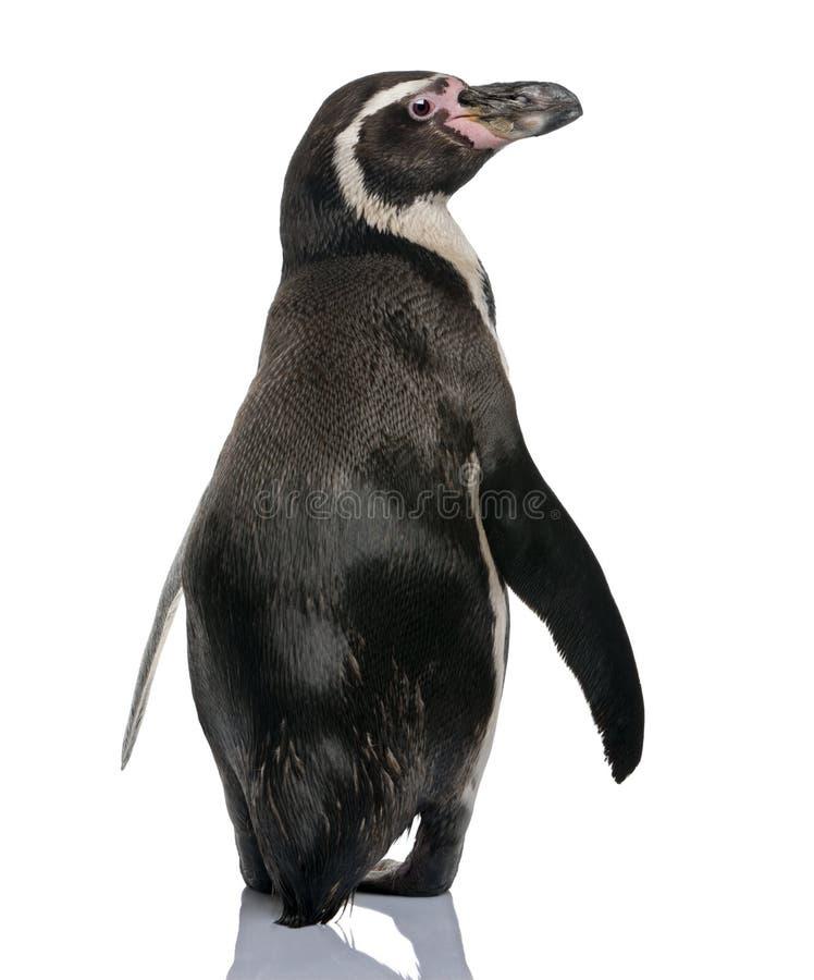 Opinião traseira o pinguim de Humboldt, estando fotografia de stock