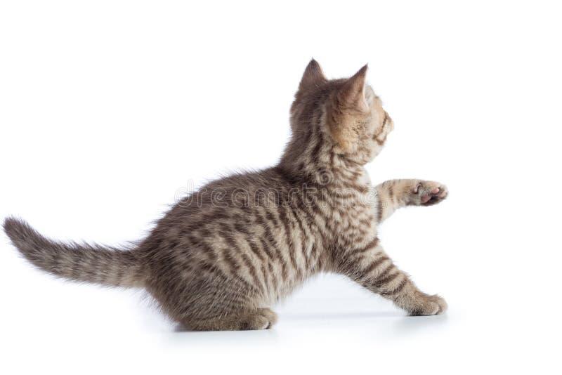Opinião traseira ou traseira do gato amedrontado do gatinho fotografia de stock