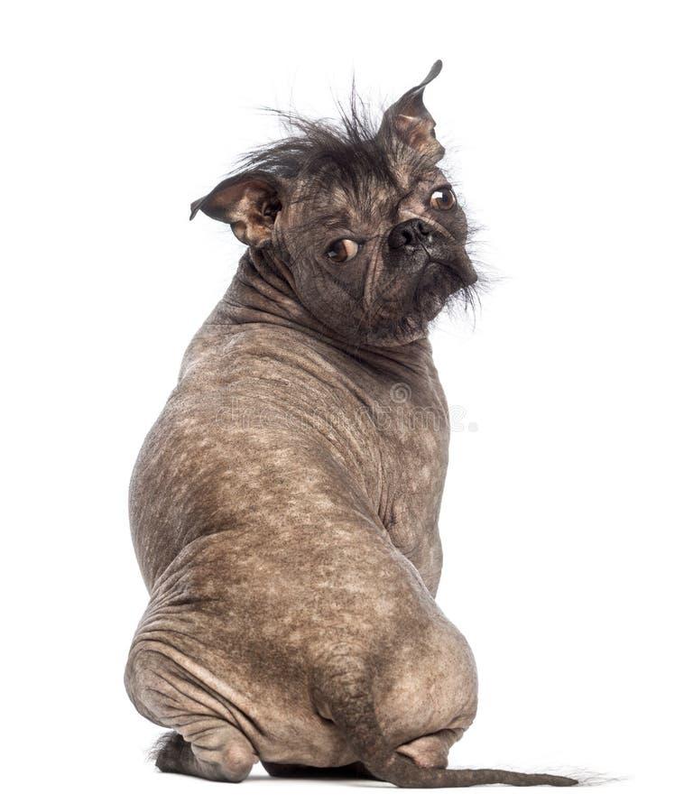 Opinião traseira um cão calvo da Misturado-raça, mistura entre um buldogue francês e um cão com crista chinês, sentando-se fotografia de stock