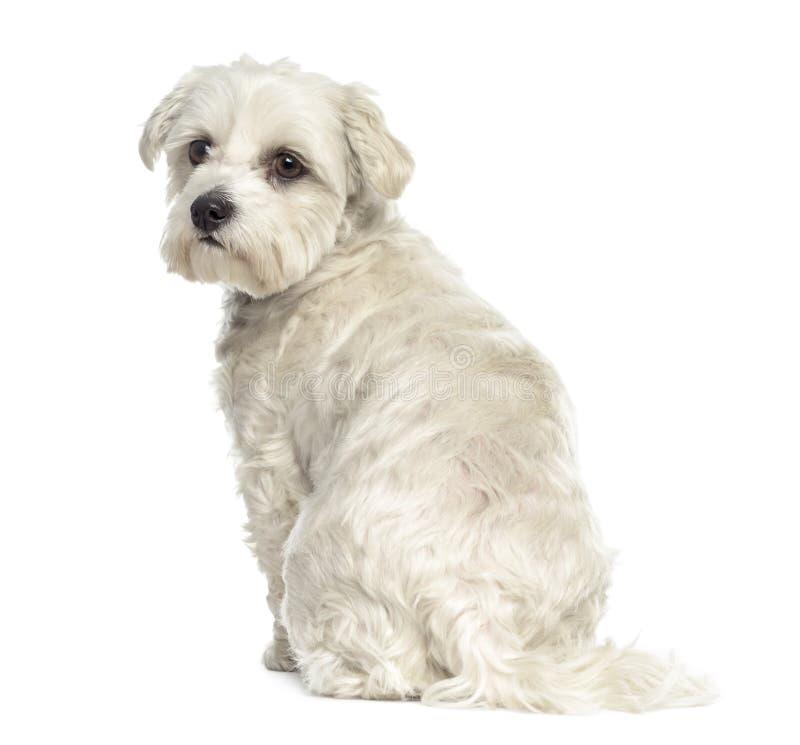 Opinião traseira um cão maltês de Bichon foto de stock