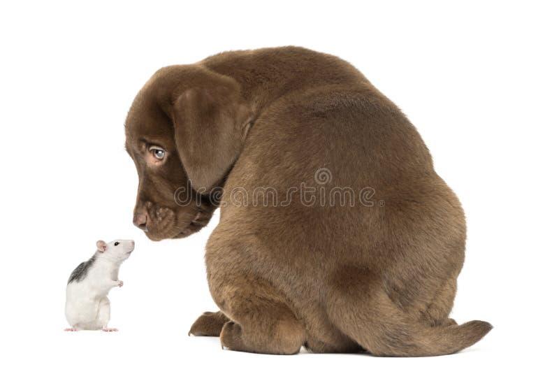 Opinião traseira um cachorrinho de labrador retriever e um rato ronco fotos de stock royalty free