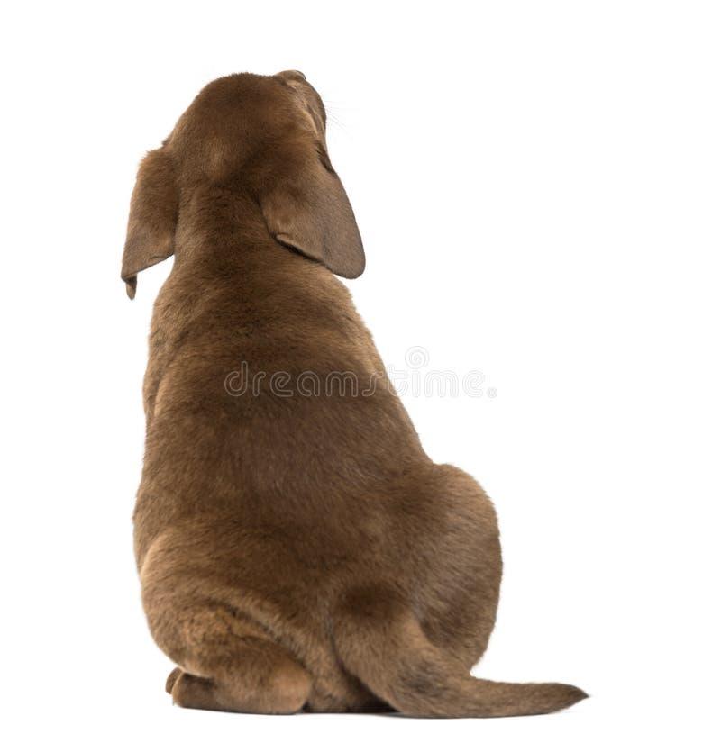 Opinião traseira um cachorrinho de labrador retriever que olha acima, 2 meses velho imagem de stock royalty free