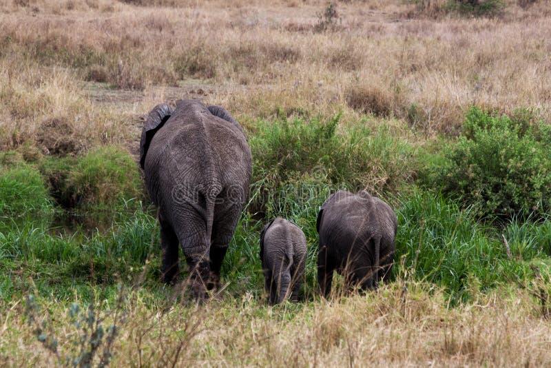 Opinião traseira um elefante da mãe com um elefante do bebê e da irmã imagem de stock royalty free