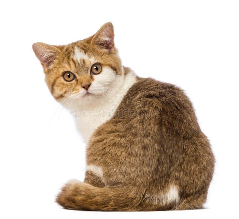 Opinião traseira um gatinho britânico de Shorthair, 3,5 meses velho, sentando e olhando a câmera imagem de stock royalty free