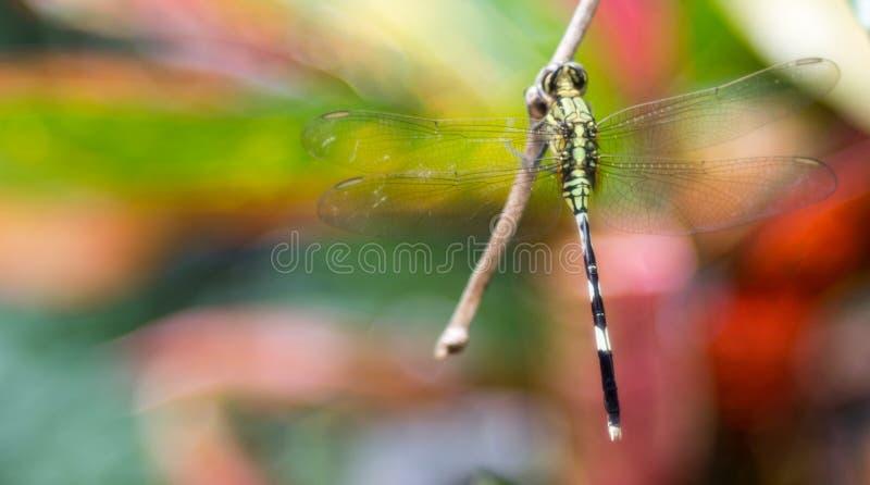 Opinião traseira uma libélula com fundo colorido foto de stock