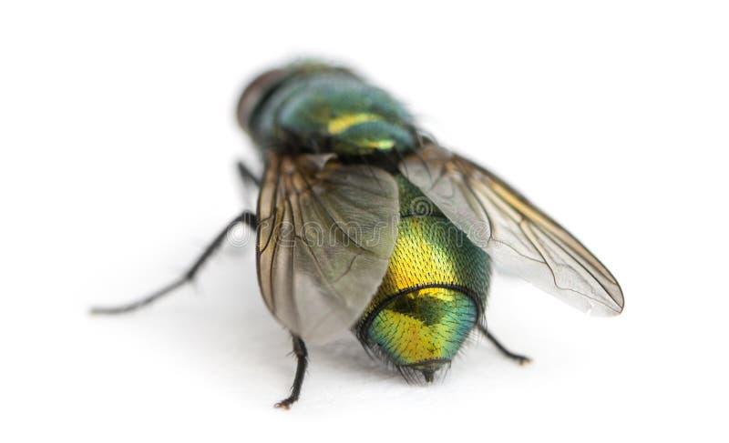 Opinião traseira uma mosca verde comum da garrafa, sericata de Phaenicia imagem de stock