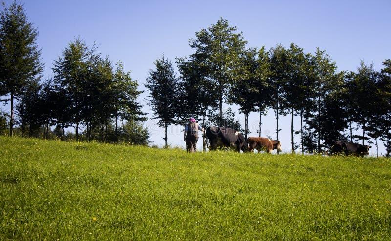 Opinião uma mulher tradicional, vacas, árvores imagem de stock