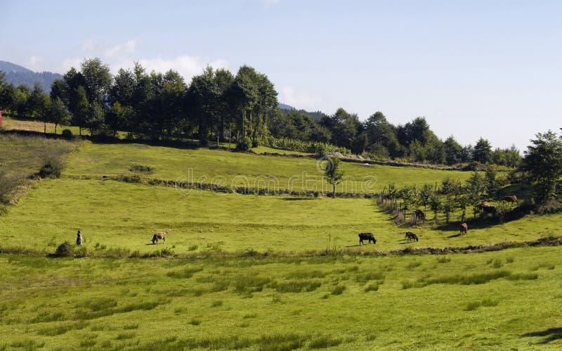 Opinião uma mulher tradicional, vacas, árvores fotografia de stock royalty free