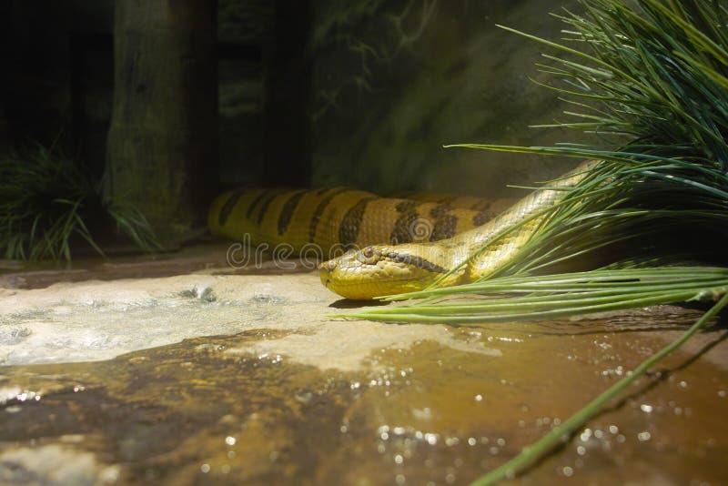 Opinião uma serpente da anaconda imagens de stock royalty free
