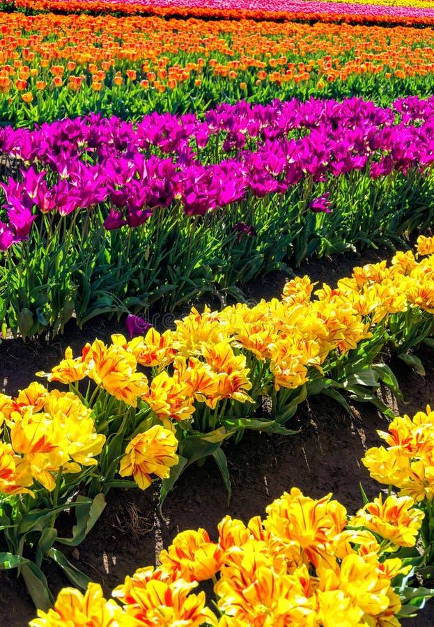 Opinião vertical Tulip Field fotos de stock royalty free