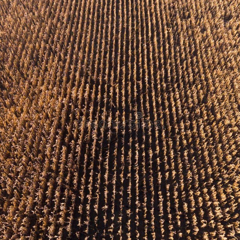 Opinión aérea del abejón desde arriba del campo de maíz después de la cosecha fotografía de archivo libre de regalías