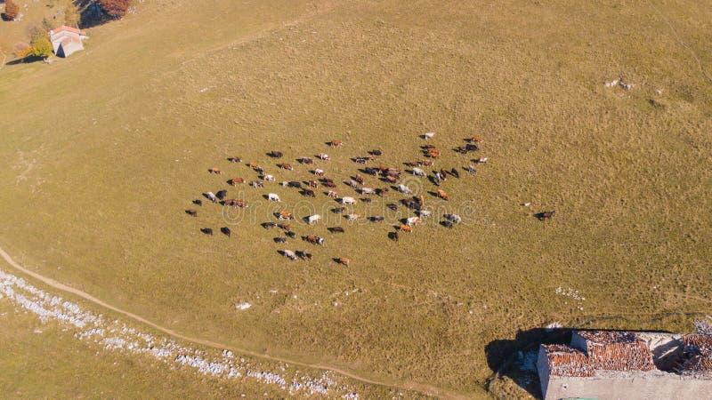 Opinión aérea del abejón las vacas que pastan en la montaña de Linzone, provincia de Bérgamo durante otoño imágenes de archivo libres de regalías