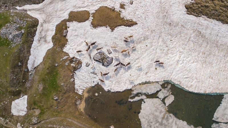 Opinión aérea del abejón una manada de las vacas que pastan en un campo de nieve en primavera Montañas italianas Italia fotos de archivo