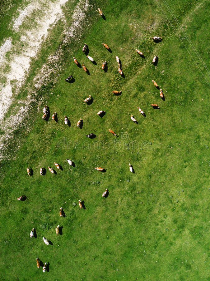Opinión aérea el rebaño de vacas que pasta en pasto fotografía de archivo libre de regalías