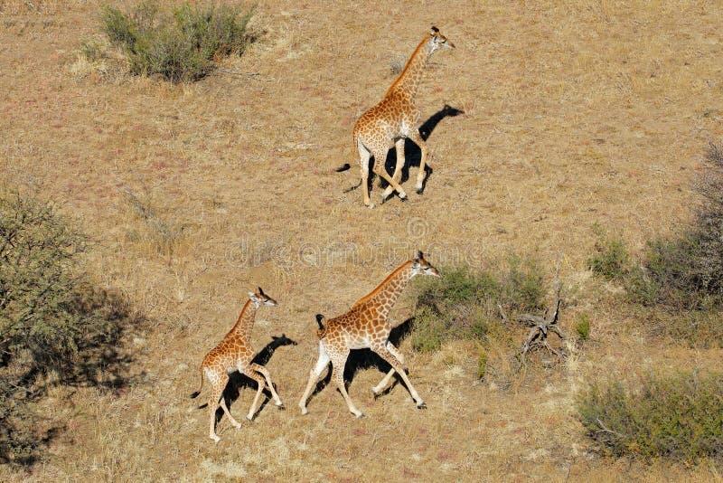 Opinión aérea jirafas corrientes fotografía de archivo