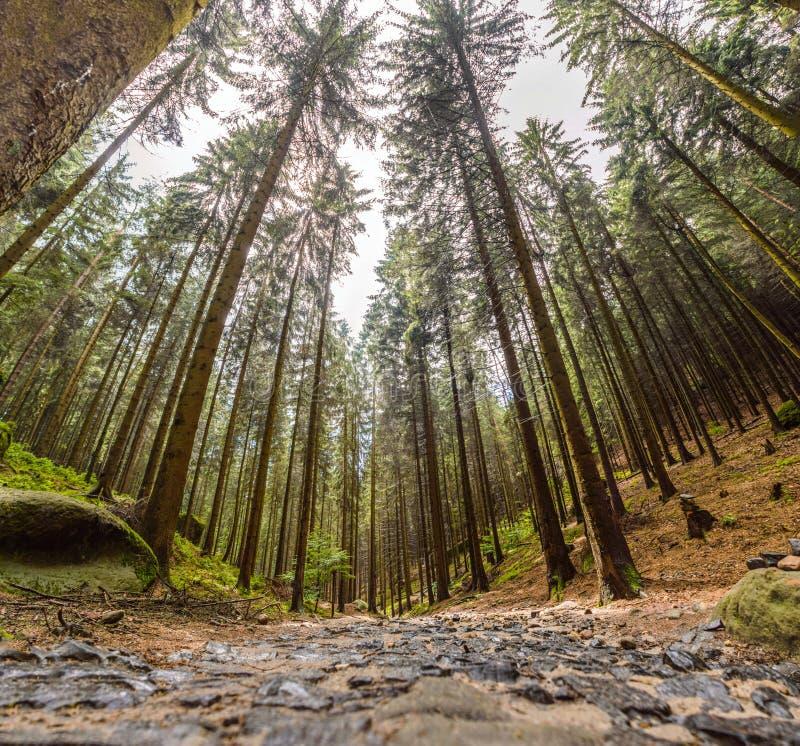 Opinión amplia del bosque de altos árboles imagenes de archivo