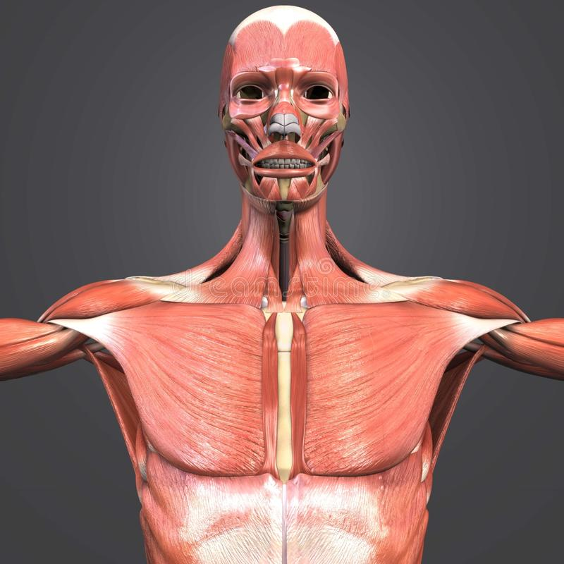 Opinión anterior de la anatomía del músculo stock de ilustración