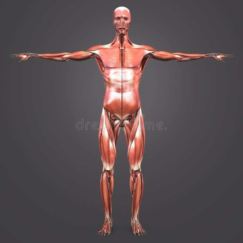 Opinión Anterior De La Anatomía Muscular Humana Stock de ilustración ...