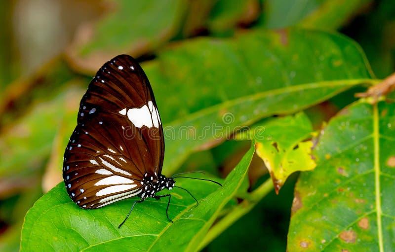 Opinión ascendente cercana la mariposa marrón oscura con la estancia blanca del modelo del color en la hoja verde en el bosque de imagen de archivo