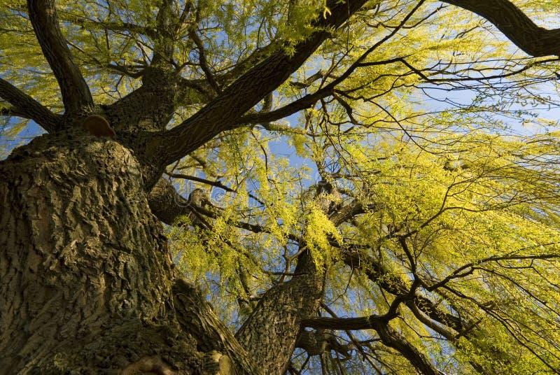 Opinión ascendente del árbol de sauce del resorte imágenes de archivo libres de regalías