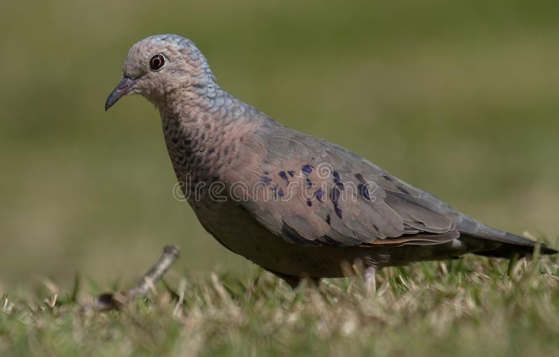 Opinión cercana de la Tierra-paloma común fotografía de archivo libre de regalías