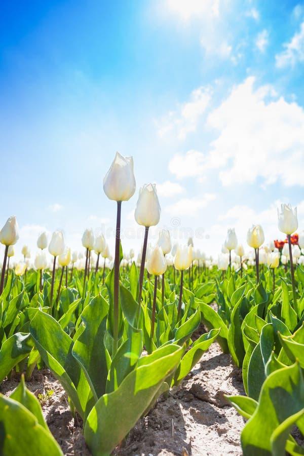 Opinión cercana los tulipanes blancos durante día hermoso fotos de archivo libres de regalías