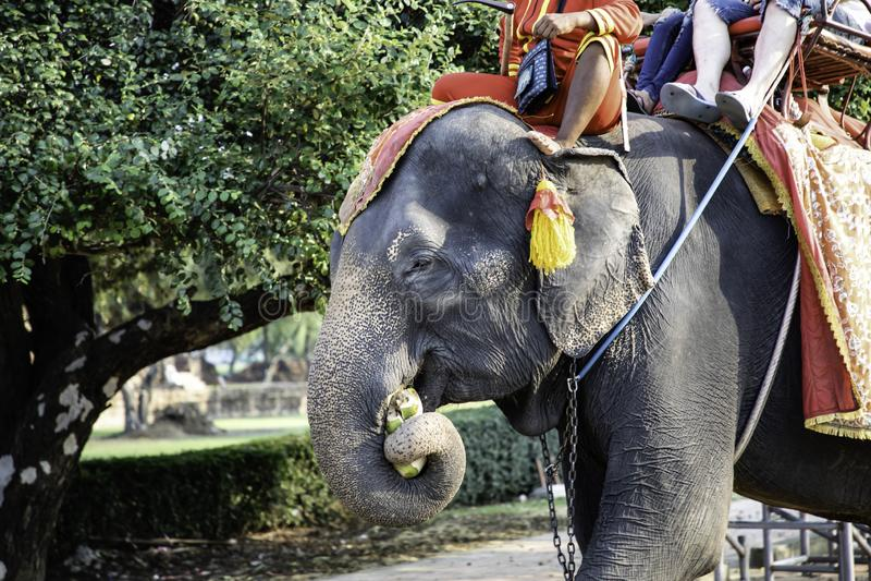 Opinión cercana los turistas que llevan de un elefante sagrado foto de archivo libre de regalías