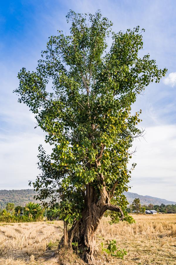 Opinión de ángulo bajo del árbol grande en el campo del arroz en DA soleada imagenes de archivo