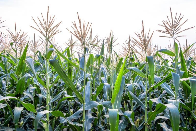 Opinión de ángulo bajo del campo de maíz en la floración contra fondo blanco brillante del cielo imagen de archivo libre de regalías