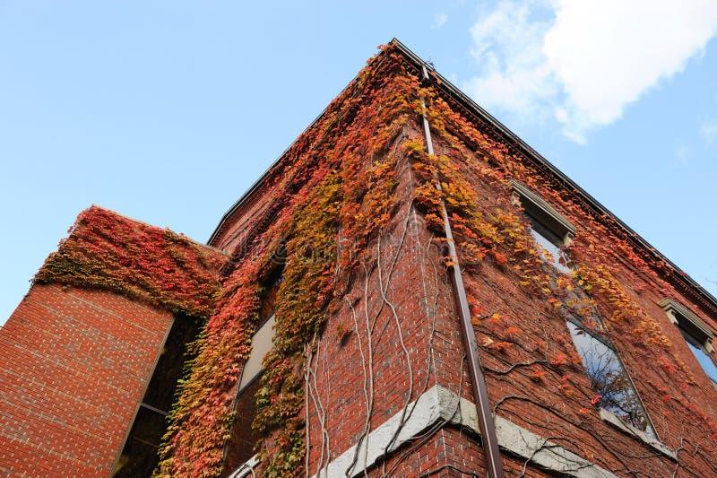 Opinión de ángulo bajo del edificio de ladrillo antiguo con la hiedra roja exterior en la estación del otoño fotos de archivo