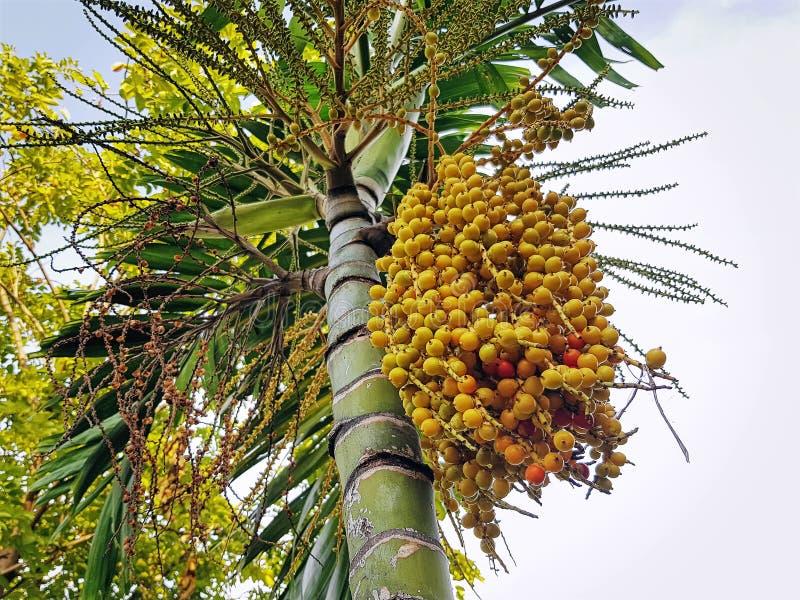 Opinión de ángulo bajo del manojo de semillas amarillas de la palma en el árbol fotografía de archivo libre de regalías