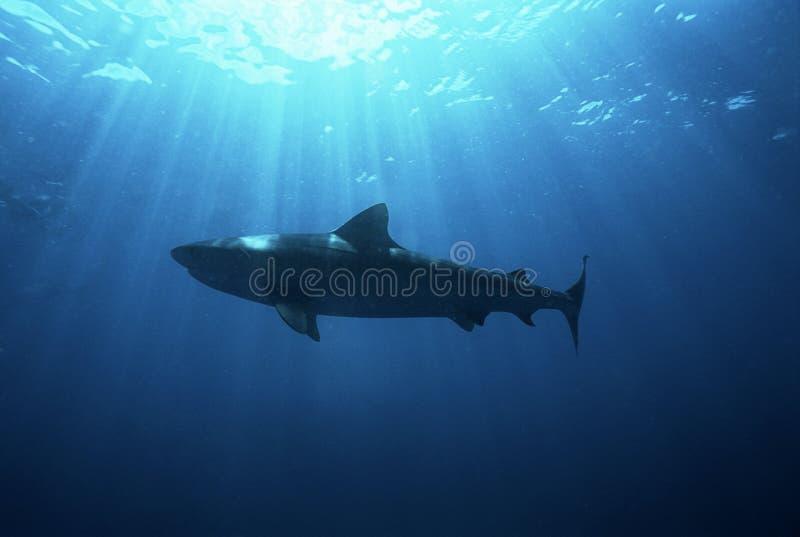 Opinión de ángulo bajo del tiburón oscuro de Suráfrica del Océano Índico del bajío de Aliwal (obscurus del Carcharhinus) imágenes de archivo libres de regalías