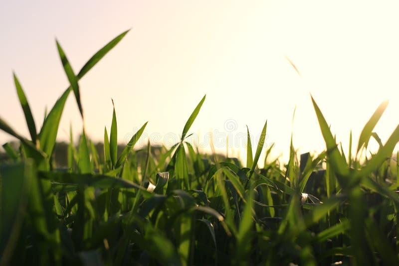 Opinión de ángulo bajo la hierba fresca contra el cielo de la puesta del sol concepto de la libertad y de la renovaci?n fotografía de archivo