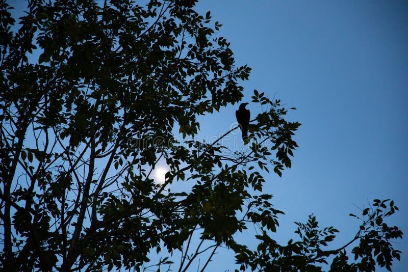 Opinión de ángulo bajo de la silueta de un árbol con un cuervo en una rama y el cielo azul y el sol en el fondo fotografía de archivo libre de regalías
