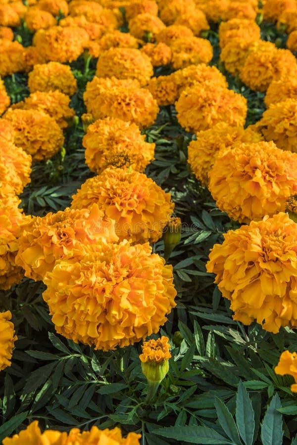 Opinión de ángulo de las flores de la maravilla en grupo fotografía de archivo
