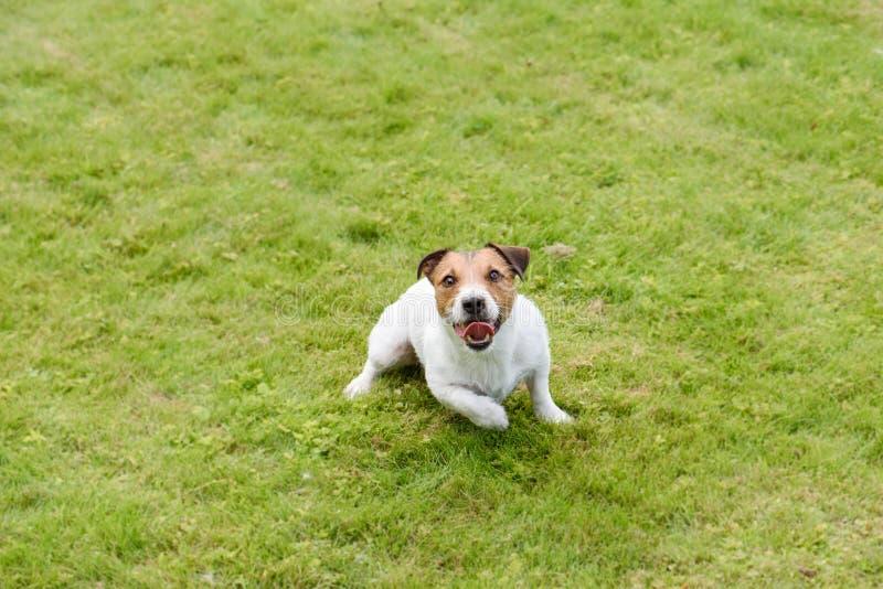 Opinión de alto ángulo de jugar el perro en hierba verde imagen de archivo