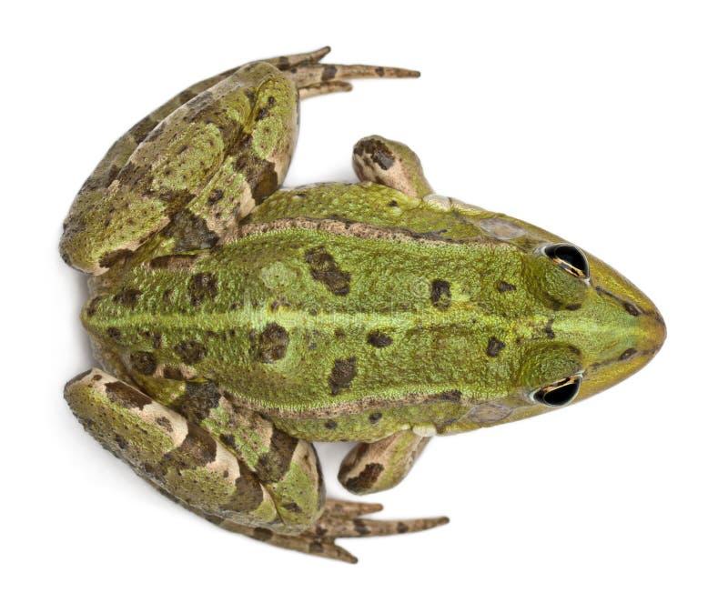 Opinión de alto ángulo la rana europea común fotos de archivo