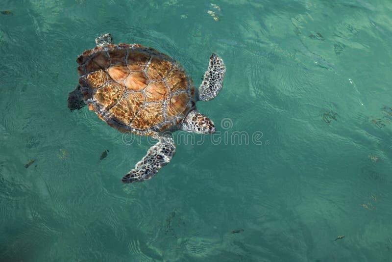 Opini?n de arriba del cuerpo completo, tortuga de mar pintada en peligro del hawksbill en agua tropical clara imágenes de archivo libres de regalías