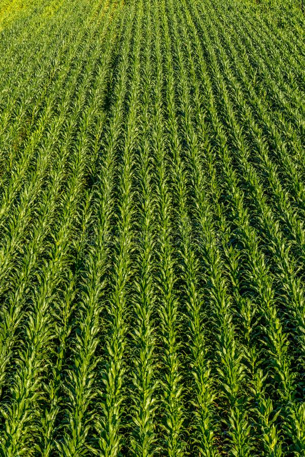Opinión de arriba desde arriba sobre un campo del maíz joven foto de archivo